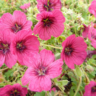 Geranium cinereum 'Jolly Jewel Raspberry'