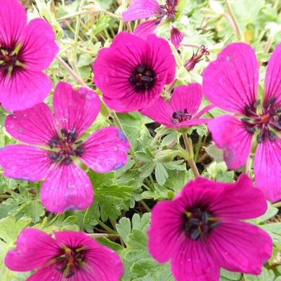 Geranium cinereum 'Jolly Jewel Red' -