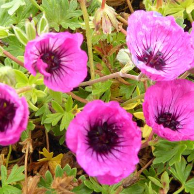 Geranium cinereum 'Jolly Jewel Silver' -