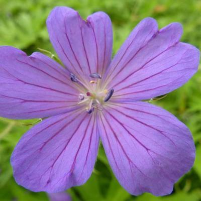 Geranium clarkei 'Kashmir Blue' -