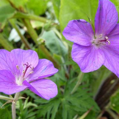 Geranium clarkei 'Kashmir Purple' - Ooievaarsbek - Geranium clarkei 'Kashmir Purple'