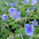Ooievaarsbek - Geranium himalayense