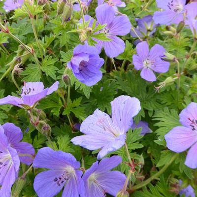 Geranium himalayense 'Gravetye' - Ooievaarsbek - Geranium himalayense 'Gravetye'