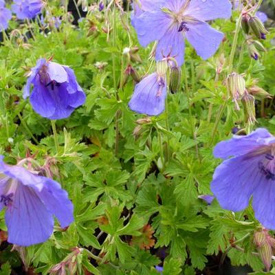Geranium himalayense 'Irish Blue' - Ooievaarsbek - Geranium himalayense 'Irish Blue'