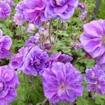 Geranium pratense 'Plenum Violaceum' - Geranium pratense 'Plenum Violaceum' - Ooievaarsbek