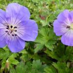 ooievaarsbek - Geranium 'Azure Rush'
