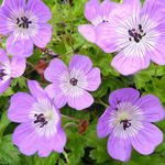 Geranium 'Bloom Time' - Ooievaarsbek