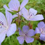 Geranium 'Blue Cloud' - Ooievaarsbek