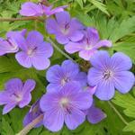 Ooievaarsbek - Geranium 'Blue Sunrise'