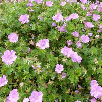 Geranium 'Blushing Turtle' -