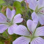 Geranium 'Chantilly' - Geranium 'Chantilly' - Ooievaarsbek