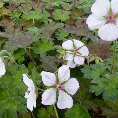 Geranium 'Coombland White' -