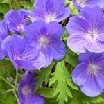 Geranium 'Eureka Blue' - Geranium 'Eureka Blue' - Ooievaarsbek