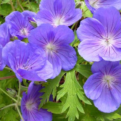 Geranium 'Eureka Blue' -