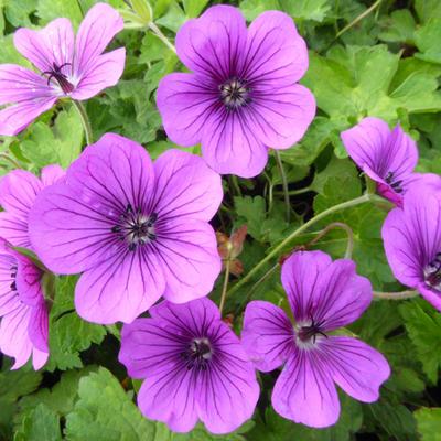 Geranium wallichianum 'Hexham Velvet' -