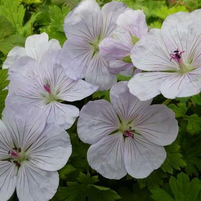 Geranium 'Lilac Ice' -