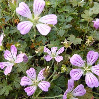 Geranium 'Luscious Linda' -