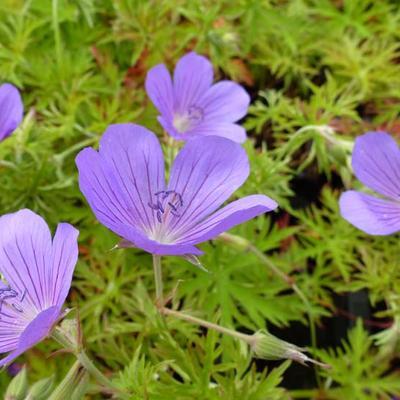 Geranium 'Nimbus' - Ooievaarsbek - Geranium 'Nimbus'