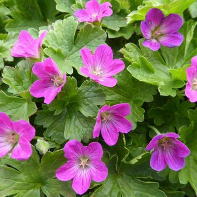 Geranium 'Pink Carpet' -