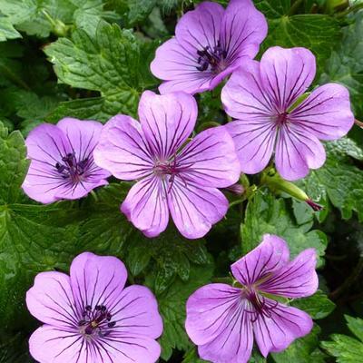 Geranium 'Pink Penny' - Ooievaarsbek - Geranium 'Pink Penny'