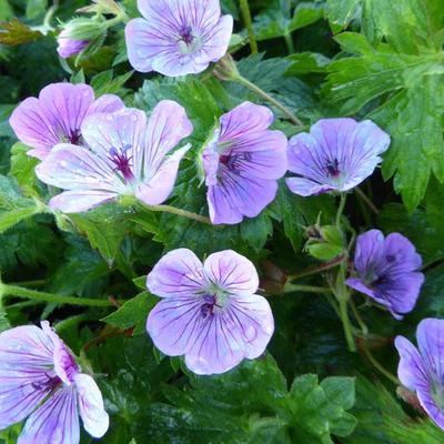 Geranium 'Sweet Heidy' -
