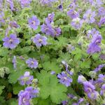 Geranium 'Terre Franche' - Ooievaarsbek - Geranium 'Terre Franche'