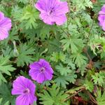 Ooievaarsbek - Geranium 'Tiny Monster'