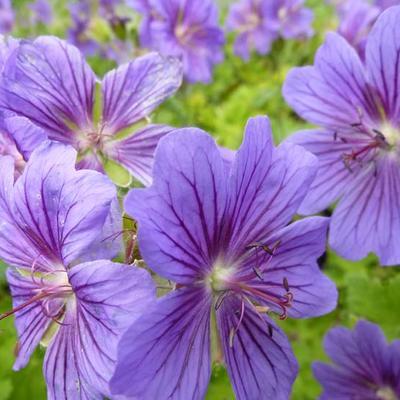 Geranium ibericum -