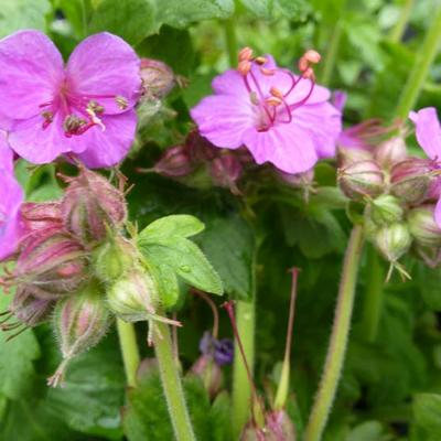 Geranium macrorrhizum 'Bevan's Variety' - Ooievaarsbek - Geranium macrorrhizum 'Bevan's Variety'