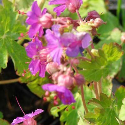 Geranium macrorrhizum 'Czakor' - Ooievaarsbek - Geranium macrorrhizum 'Czakor'
