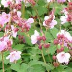 Ooievaarsbek - Geranium macrorrhizum 'Ingwersen's Variety'