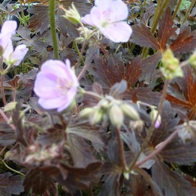 Geranium maculatum 'Elizabeth Ann' -