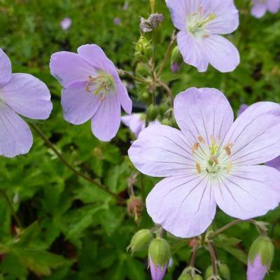 Geranium maculatum 'Vickie Lynn' -