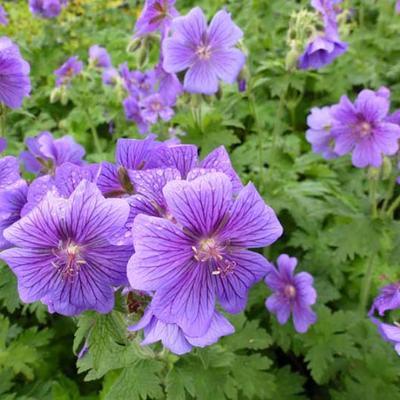 Geranium magnificum - Ooievaarsbek - Geranium magnificum