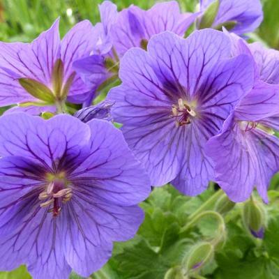 Geranium x magnificum 'Rosemoor' - Ooievaarsbek - Geranium x magnificum 'Rosemoor'