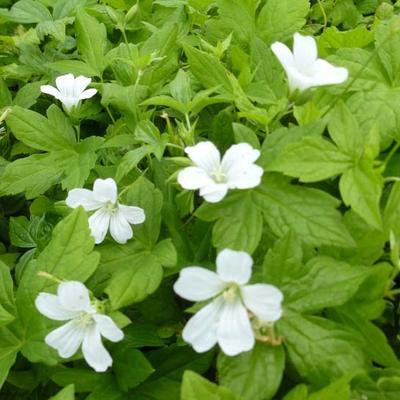 Geranium nodosum 'Silverwood' -