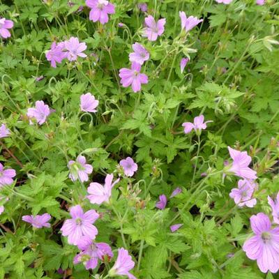 Geranium x oxonianum  'Lady Moore' -