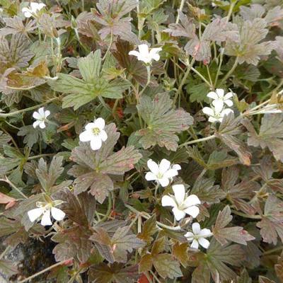 Geranium sessiliflorum 'Sanne' -