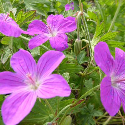 Geranium palustre -
