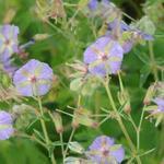 Geranium phaeum 'JS Blauwvoet' - Ooievaarsbek - Geranium phaeum 'JS Blauwvoet'
