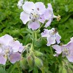Geranium phaeum 'Joan Baker' - Geranium phaeum 'Joan Baker' - Ooievaarsbek