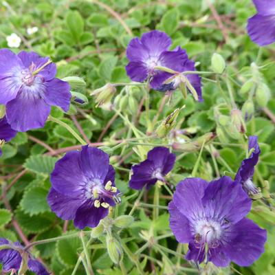 Geranium phaeum 'Lily Lovell' -