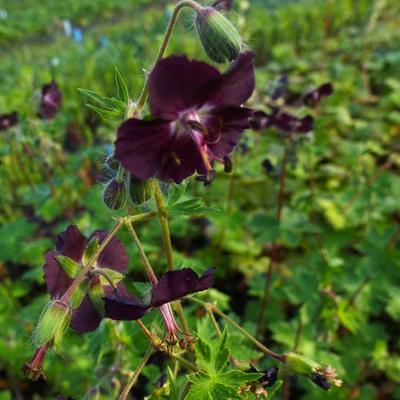 Geranium phaeum 'Mourning Widow' -