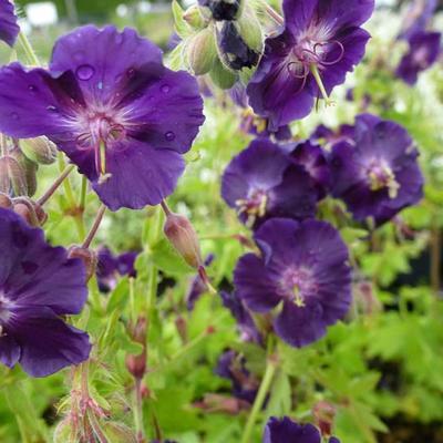 Geranium phaeum 'Raven' - Ooievaarsbek - Geranium phaeum 'Raven'