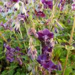 Ooievaarsbek - Geranium phaeum 'Samobor'