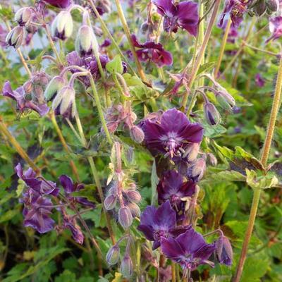 Geranium phaeum 'Samobor' - Ooievaarsbek - Geranium phaeum 'Samobor'