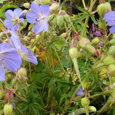 Geranium pratense -