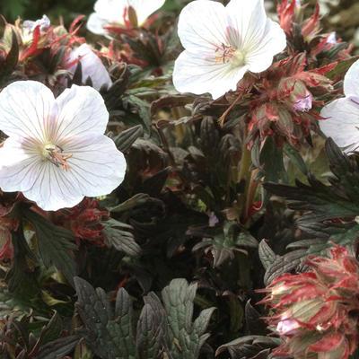 Geranium pratense 'Black 'n White Army' -