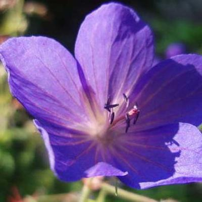 Geranium pratense 'Cluden Sapphire' -