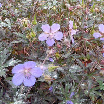 Geranium pratense 'Hocus Pocus' -